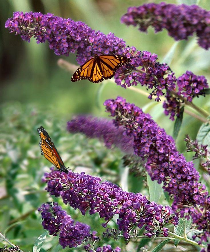 Live 'Black Knight' Butterfly Bush - Set of Four