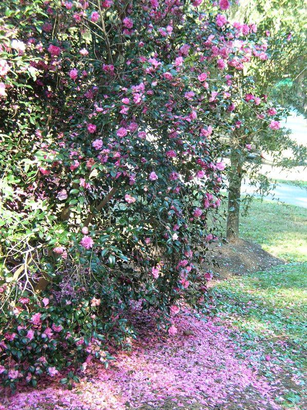1000 images about camellia plants on pinterest virginia - Camelia planta ...