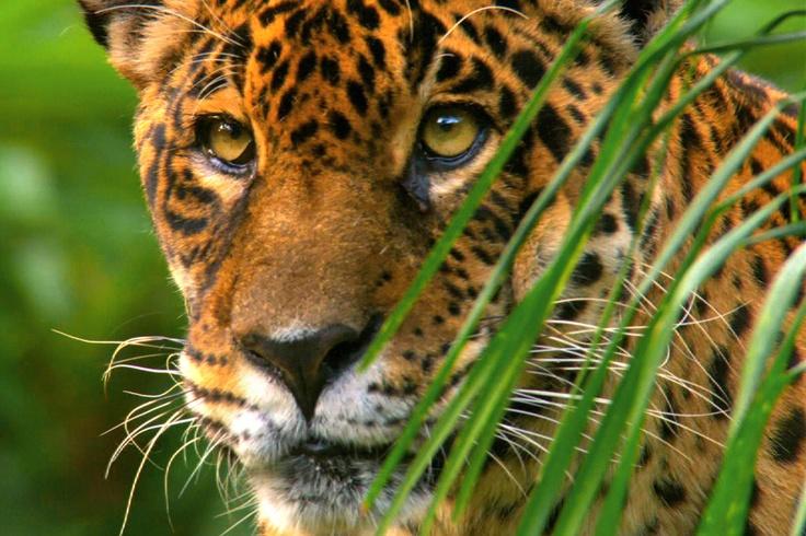 De jaguar is het grootste en sterkste katachtige roofdier in Zuid-Amerika. Deze foto komt uit Wil... [FOTO VAN DE DAG - juli 2012]