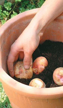 One day, I will try growing potatoes! Grow potatoes in a container