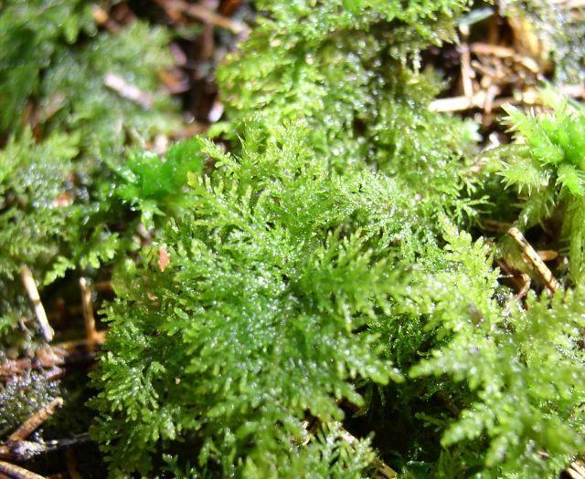 Hylocomium splendens - rokytník lesklý