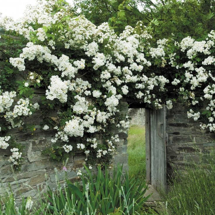 **Rambling Rector - climbing rose. Large, thorny rambling rose, flowers once a year in spring only, but can ramble up a boring deciduous tree. Gets blackspot. A good rose to plant and not worry about neglecting as long as it's in sunny position.