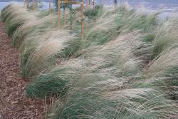 Poa labillardieri 'Eskdale' provides an element of movement to landscapes. Plant profile http://www.bluedale.com.au/our-selection/strapy-leaf-plants/poa-labillardieri-eskdale Buy online http://www.bluedaleplantsonline.com.au/shop/Designer-Grasses/ESKDALE/12/ Visit today!
