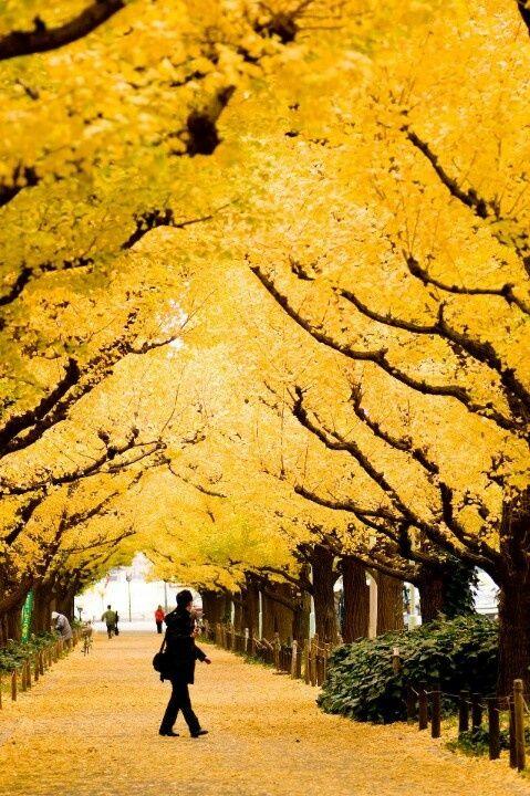Ginkgo trees in autumn, Kyoto, Japan