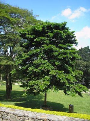 arvore simbolo do Brasil-Pau Brasil
