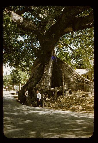 Ceiba tree, Ponce Puerto Rico