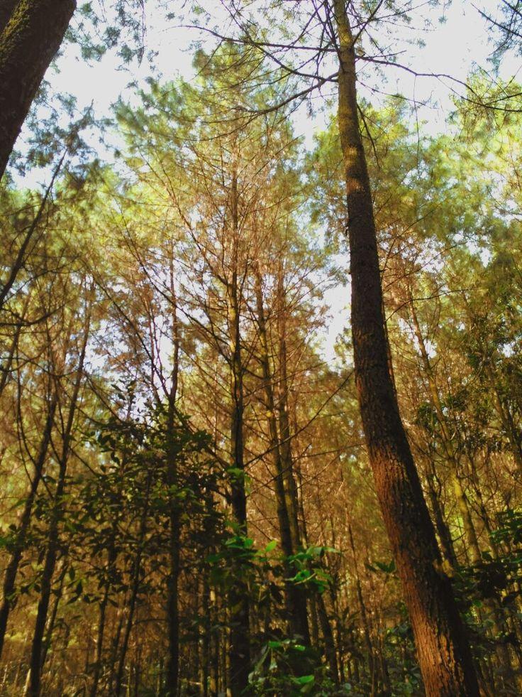 Pinusnya gunung ciremai via linggarjati setelah pos cibunar   •Taman Nasional Gunung Ciremai•
