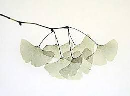 Resultado de imagen de ginkgo biloba illustration