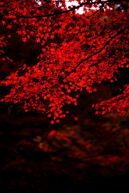 Red Leaves ~ Japan #americanapparel #pinatripwithaa