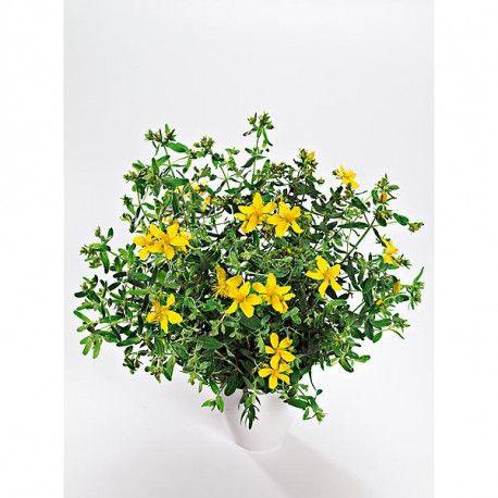 (hypericum perforatum), vivace, plante sauvage héliophile et calcicole, fleurs jaune aux nombreuses étamines, médicinale aux nombreux usages depuis fort longtemps,Quantité livrée : 2 g. NT (18.000 s.)