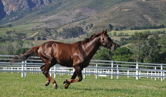 Horse Chestnut, the great South African champion, gallops in his paddock near Franschhoek.