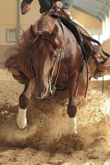 western-horses:  Quarter Horse Stallion by TomHaut on Flickr.
