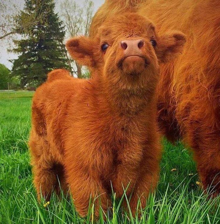 Die etwas grösseren Tierbabys: So süss sind Schottische Hochlandrinder