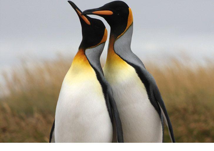 Parque Pingüino Rey, Bahía Inútil, Tierra del Fuego. #pinguineira #patagonia #chile Melhores meses para ver Pinguins: dezembro e janeiro.