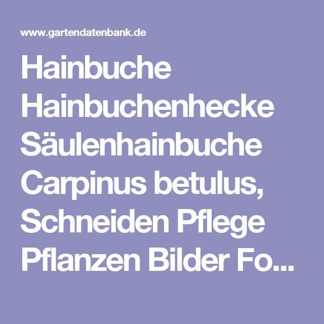 Hainbuche Hainbuchenhecke Säulenhainbuche Carpinus betulus, Schneiden Pflege Pflanzen Bilder Fotos Garten