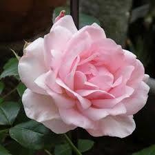Nina von Stauffenberg rose - Google Search                                                                                                                                                     More