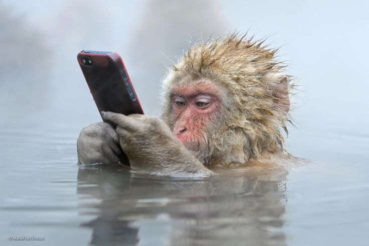 Monkey Relaxing After a Hard Day of Candy Crush.