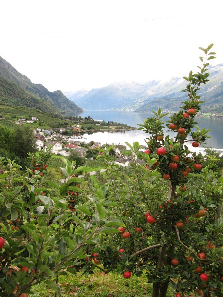 Lofthus in September - pick an apple in the orchards by ...