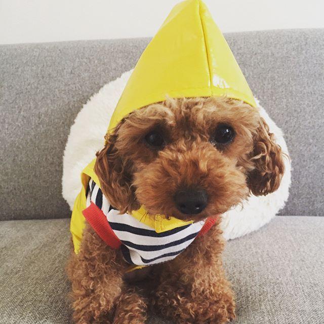 とんがり帽子♡ ⁑ 雨の日はパジャマの上にワンコインshopでゲットしたレインコート着てお家周りの朝警備に出かけます♡ ⁑ #goodmorning #おはようございます #雨の日 #朝ん歩 #朝警備 #とんがり帽子 #レインコート #黄色の警備服  #dog #dogstagram #lovedogs #toypoodle  #愛犬 #lily #リリィLOVE #我が家の宝物 #我が家のアイドル #トイプードル #犬ばか部 #pecoいぬ部 #instadog #犬ばか #ふわもこ部 #pecon #トイプードル女の子