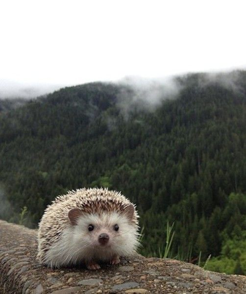 Biddy hopes to expand his travels and see new areas beyond his home turf, but is somewhat limited by local laws. In numerous states, like California, it is illegal to own a hedgehog, which means Biddy can't stop in for visits.