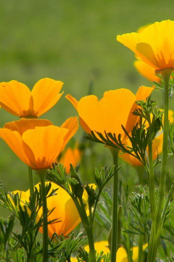 Poppy California California Poppy Growing Plants Hardy Perennials