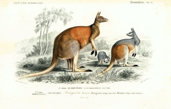 Taken from the Dictionnaire Universel d'Histoire Naturelle, a publication directed by the french naturalist Charles Henry Dessalines d'Orbigny. 1861 Very fine drawing, very... #orbigny #kangaroo #mammals #ancient #zoology #illustration