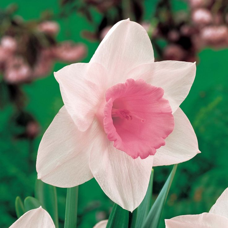 pink daffodil - 'passionale' narcissus