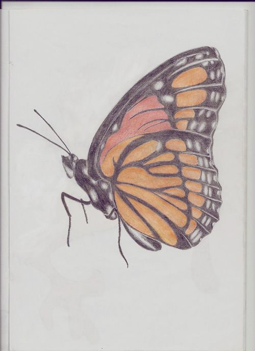 30 best butterfly drawing images on Pinterest ...