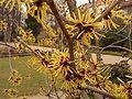 Hamamelis. Fleurit en automne. noisetier des sorcieres.