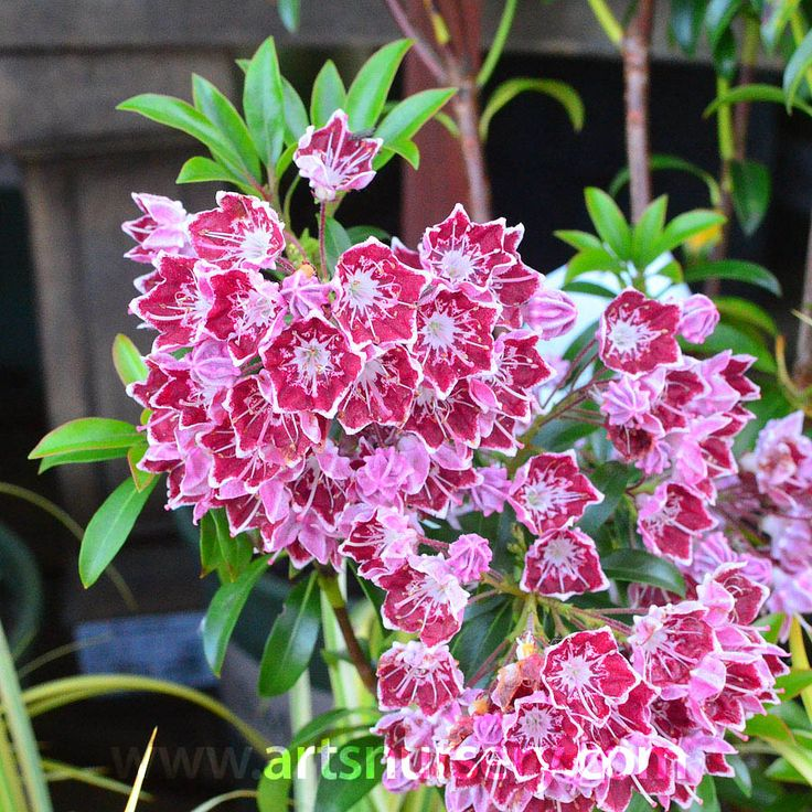 Kalmia latifolia Starburst and many other plants like it are available at Art's Nursery