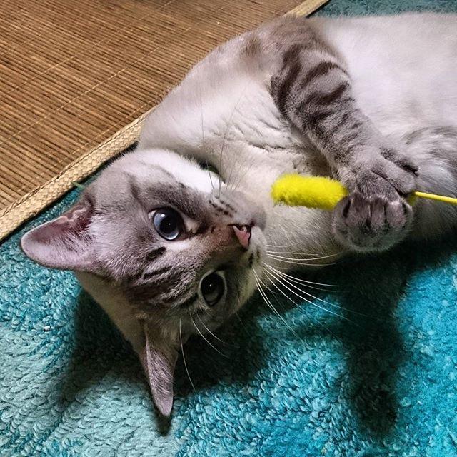 捕まえたにゃん! #ねこ#cat#cute#ぬこ#猫#愛猫#ネコ #cats#catstagram#catsofinstagram  #animal#catinstagram#ねこら部  #ねこ部#にゃん#にゃんすたぐらむ #にゃんこ#白猫#instacat#kitty  #猫ジャラシ#しー坊 #何故か遠い目