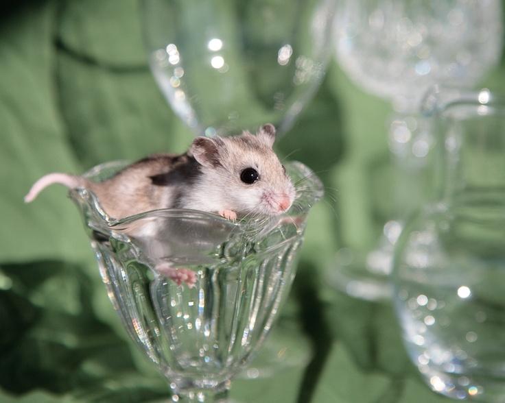 Dwarf hamsters. <3