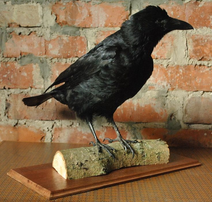 Taxidermy Crow