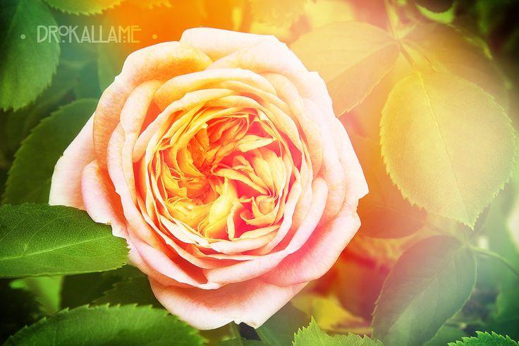 Sunny Rose by Drokallame.deviantart.com on @DeviantArt