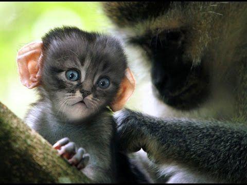 Гибрид кошек и обезьян.Кошкозьяны.Сара ДеРемер\Hybrid cats and monkeys S...