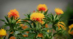 Färberdistel – Pflanzen, pflegen und vermehren