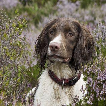 "field dog, ""Talisker"" by Pat Butler Photography, via Flickr"