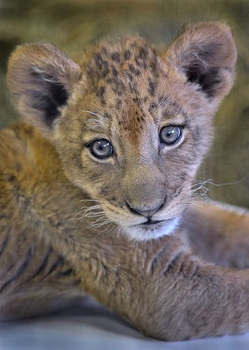 ~~Lion king junior ~ two-month old lion cub by Stinkersmell~~