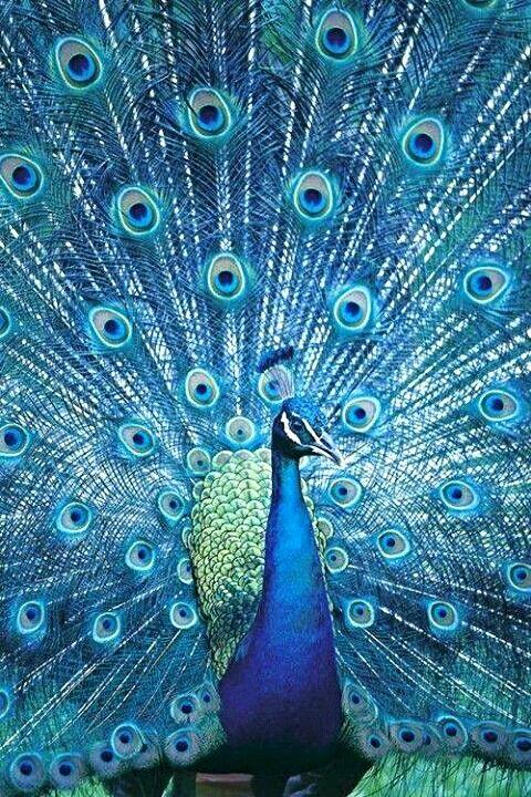 83 Best Peacock Inspired Images On Pinterest Peacock
