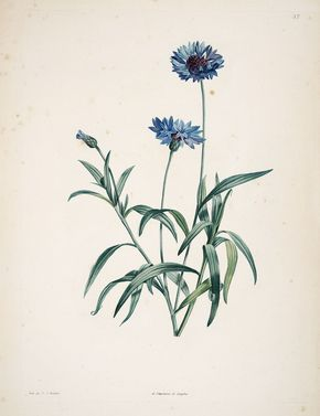 gravures botanique Rousseau - gravures botanique Rousseau - 168 centaurea cyanus - centauree bleuet - Gravures, illustrations, dessins, image1573 x 2048