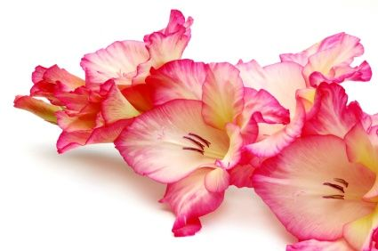 Google Image Result for http://www.great-birthday-party-ideas.com/image-files/gladiola.jpg