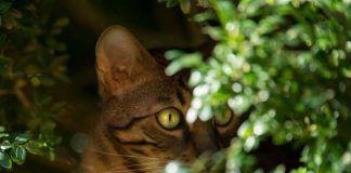 Comportement du chat Bengal et caractère du Bengal