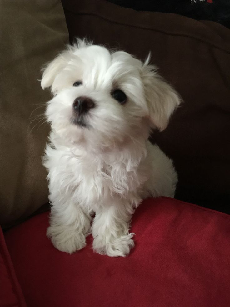 free maltese puppies best 25 small puppies for sale ideas on pinterest corgi 3987