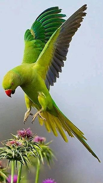 Parrot                                                                                                                                                                                 More