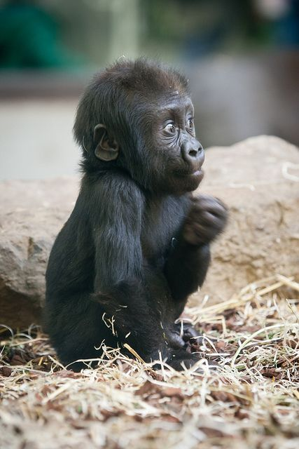 Baby Gorilla   by: A.J. Haverkamp, via #Baby Animals #cute baby Animals