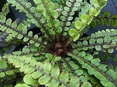 Blechnum fluviatile (Kiwikiwi, star fern) - distinctive ground-hugging rosette…