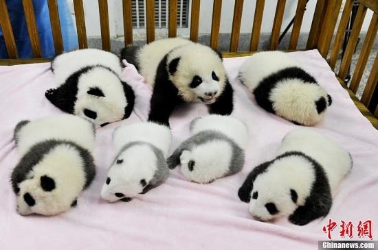 Pandas ozsenos