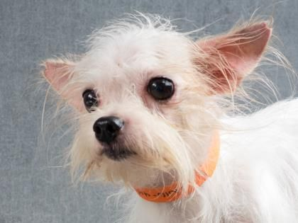 Petango.com – Meet Lemon, a 3 years 1 month Maltese / Terrier available for adoption in COLORADO SPRINGS, CO