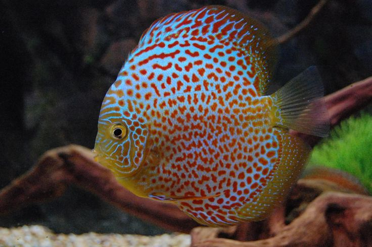 17 Best Images About Discus On Pinterest Fresh Water