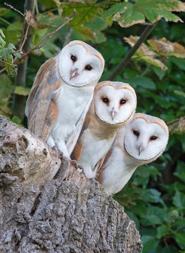 Three Barn Owls